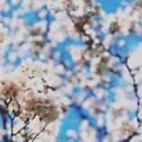 『桜の花がだいぶ咲いてきました。』の画像
