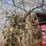 『3月の花①』の画像