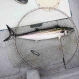 『台風が接近してウネリのある中で徳島の船長と2人で大鳴門橋を観ながら釣り 幸先よくサワラを釣ったぜ! #ネトウヨ安寧』の画像