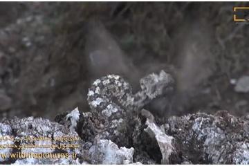 本物そっくりなニセモノのクモ!? 鳥をだまして捕食するヘビがすごい!