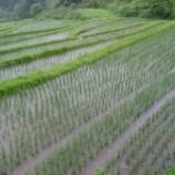 『田植えから1ヶ月経過、稲の生育は?』の画像