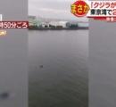 えっ?東京湾に「クジラがいる」 ビルの上から撮影