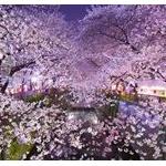 桜の花見だとか、見に行こうとするのが理解できないんだけど、わかる奴いる?