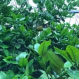 『グレープフルーツ♪』の画像