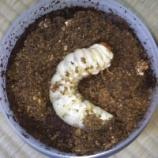 『【飼育日記】オオクワガタの菌糸交換(マット切り換え)を行いました。【体重測定】』の画像