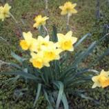 『水仙の花ことば』の画像