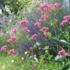 『ひとりでに育って庭を明るく飾る丈夫で美しい秋まきのムシトリナデシコ育て方』の画像