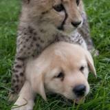 【悲報】イッヌさん、ジャガーに襲われ敗北してしまう