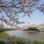 『高田城址の桜』の画像