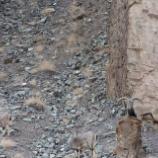 『自然に溶け込むユキヒョウ』の画像