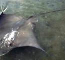 お城の内堀に1・8mのエイ…昨年のサメに続き