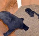 飼料タンクにクマ3頭 塩谷町営放牧場、親子か