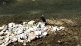 ハトとスズメの間くらいの大きさで体は黒くてクチバシが黄色い鳥なんていう名前かわかる?