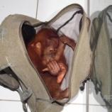 『オランウータン密売者禁錮刑:インドネシアで異例の判決』の画像