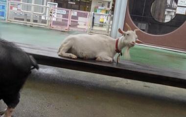 『【再編集】市川市動植物園にて、モルモットにまみれる』の画像