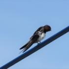 『ツバメ(燕) ~庭に来る野鳥~』の画像