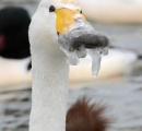 白鳥のくちばしが凍りつき、エサが食べられず見てるだけ(画像あり)