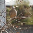 『キジバト(雉鳩) ~庭に来る野鳥~ 』の画像