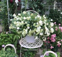 *場所は駐車場!今年もミニバラグリーンアイスの花壇を作りました(^^♪