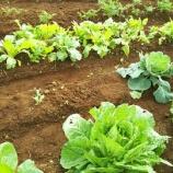 『冬野菜育ってきました!』の画像