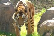 【インド】最高裁、「人食いトラ」の射殺を許可 犠牲者の体の60%が食べられていたケースも 保護活動家は反発