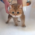 愛猫のために新アイテムを導入!マッサージ機能付きのシャワーヘッドに怪訝な顔をするホシコさん