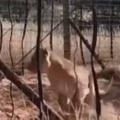 でっかいネコが柵の中にいた。男がドアを開けてみる → こうなった…
