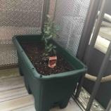 『【家庭菜園】2018年もプチトマト栽培をスタート@ベランダ』の画像