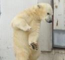"""【それって白熊ではないの?】""""真っ白""""のヒグマ目撃相次ぐ・・注意を呼びかけ 北海道"""