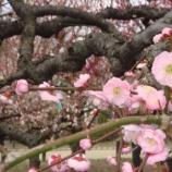 『と、いうわけで梅の花』の画像