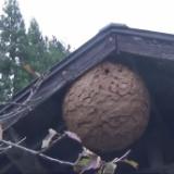 【閲覧中尉】超巨大なスズメバチの巣、割ってみた結果wwwwww