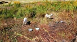 【兵庫】「効果すごい」ヤギ2頭でエコ除草実験、2週間後には…