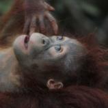 『貴重なオランウータンがダム建設で絶滅の危機』の画像