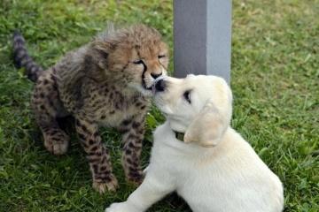 動物園でヒョウを飼育する時、ヒョウの強い警戒心を和らげるために犬が活躍する