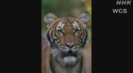 【新型コロナ】NY市の動物園でトラが感染…せきや食欲不振