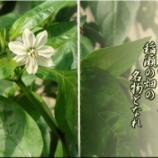 『ピーマンの花いちりん』の画像