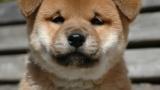 残念!20代女子が選ぶ好きな犬種で柴犬第11位・・