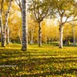 『白樺の林White birch forest.』の画像