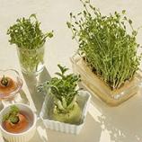 『野菜の水栽培はキッチンインテリアになる』の画像