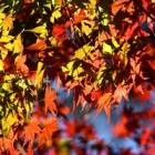『紅葉の高尾山へ(景信山〜高尾山縦走)』の画像