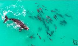 「鬼さんこちら」イルカの群れと遊ぶクジラ 車椅子のカメラマンがドローン撮影