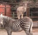 シマウマ「ウマコ」の背中にヤギ「きなこ」が乗る…その悲しき理由とは?