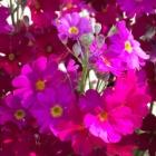 『桜草』の画像