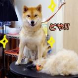 『【柴犬】夏の風物詩 抜け毛ごっそり!で笑顔こぼれるポン太くん 』の画像