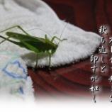 『ハヤシノウマオイ』の画像