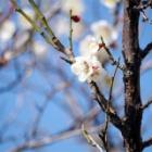 『自宅の梅が咲いています』の画像