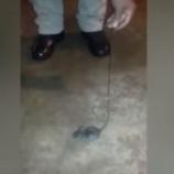 『人に役立つネズミたち。刑務所の麻薬運び屋にも。』の画像