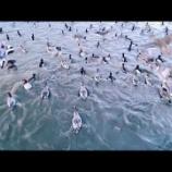 『野生の鴨たちの着水』の画像