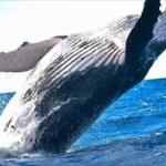 日本人「クジラうめえwwww」世界「うわぁ・・・(外から眺めながら)」