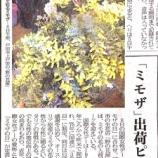 『野の花屋さんが記事に!(埼玉新聞)「ミモザ」出荷ピーク あす国際女性デー』の画像
